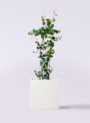 観葉植物 ユーカリ 8号 ポリアンセモス バスク キューブ 付き