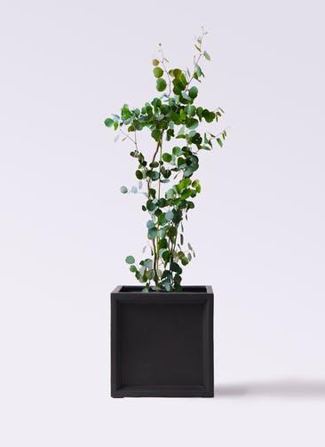 観葉植物 ユーカリ 8号 ポリアンセモス ブリティッシュキューブ 付き