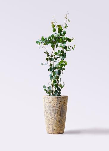 観葉植物 ユーカリ 8号 ポリアンセモス アトランティス クルーシブル 付き