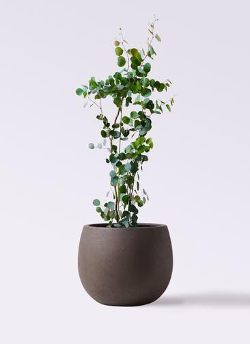 観葉植物 ユーカリ 8号 ポリアンセモス テラニアス ローバルーン アンティークブラウン 付き