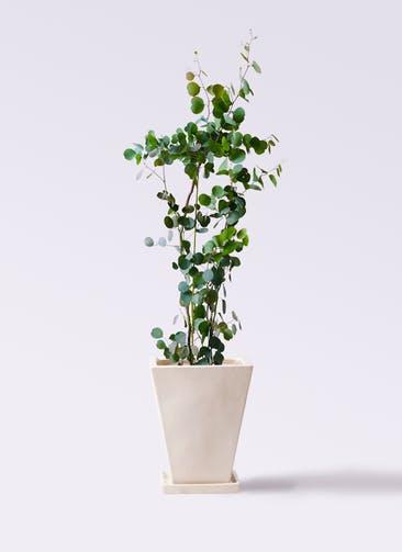 観葉植物 ユーカリ 8号 ポリアンセモス スクエアハット 白 付き