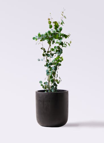 観葉植物 ユーカリ 8号 ポリアンセモス エルバ 黒 付き