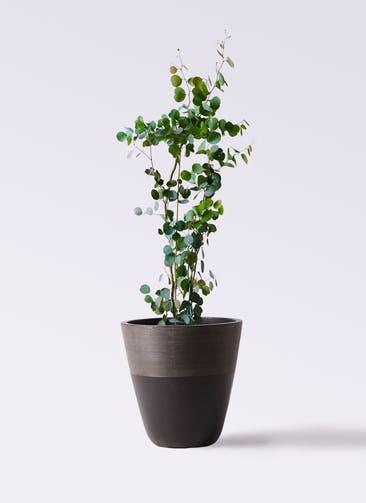 観葉植物 ユーカリ 8号 ポリアンセモス ジュピター 黒 付き