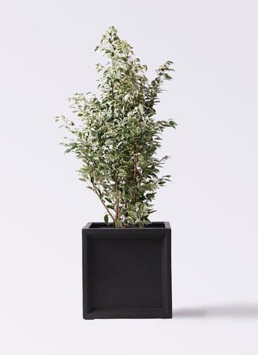観葉植物 フィカス ベンジャミン 10号 スターライト ブリティッシュキューブ 付き
