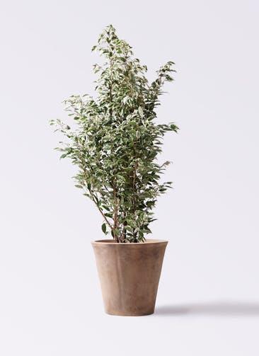 観葉植物 フィカス ベンジャミン 10号 スターライト ルーガ アンティコ ソリッド 付き