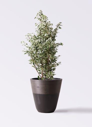 観葉植物 フィカス ベンジャミン 10号 スターライト ジュピター 黒 付き