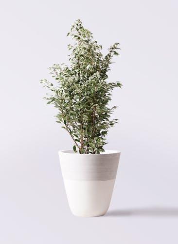 観葉植物 フィカス ベンジャミン 10号 スターライト ジュピター 白 付き