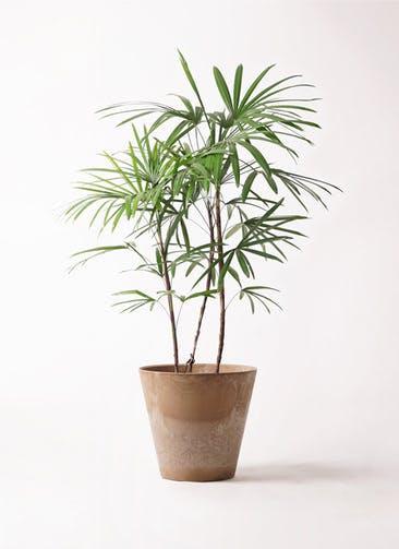 観葉植物 シュロチク(棕櫚竹) 8号 アートストーン ラウンド ベージュ 付き