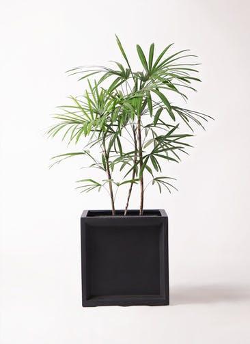 観葉植物 シュロチク(棕櫚竹) 8号 ブリティッシュキューブ 付き