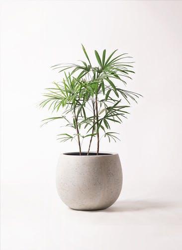 観葉植物 シュロチク(棕櫚竹) 8号 テラニアス ローバルーン アンティークホワイト 付き