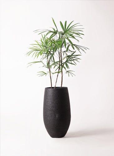 観葉植物 シュロチク(棕櫚竹) 8号 フォンティーヌトール 黒 付き