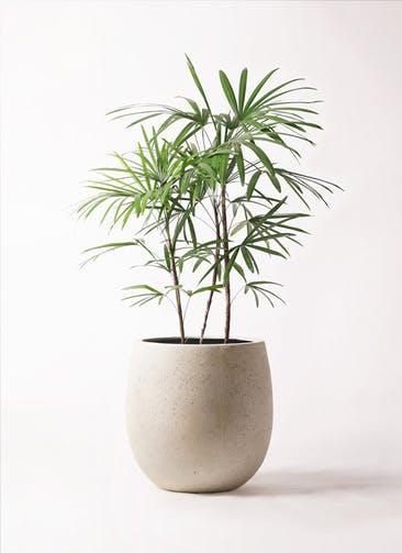 観葉植物 シュロチク(棕櫚竹) 8号 テラニアス バルーン アンティークホワイト 付き