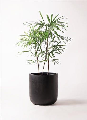観葉植物 シュロチク(棕櫚竹) 8号 エルバ 黒 付き