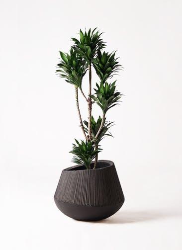観葉植物 ドラセナ コンパクター 8号 エディラウンド 黒 付き