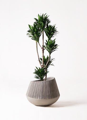 観葉植物 ドラセナ コンパクター 8号 エディラウンド グレイ 付き