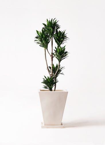 観葉植物 ドラセナ コンパクター 8号 スクエアハット 白 付き
