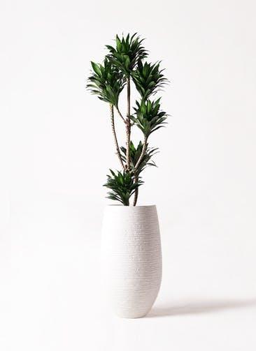 観葉植物 ドラセナ コンパクター 8号 フォンティーヌトール 白 付き