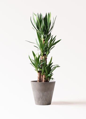 観葉植物 ユッカ 8号 ノーマル アートストーン ラウンド グレー 付き