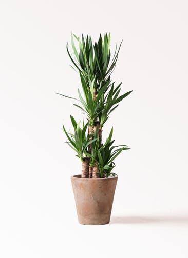 観葉植物 ユッカ 8号 ノーマル ルーガ アンティコ ソリッド 付き