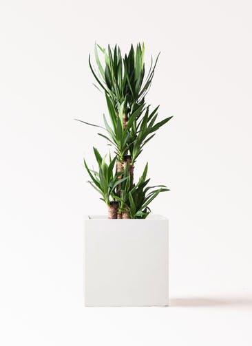 観葉植物 ユッカ 8号 ノーマル バスク キューブ 付き