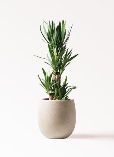 観葉植物 ユッカ 8号 ノーマル テラニアス バルーン アンティークホワイト 付き