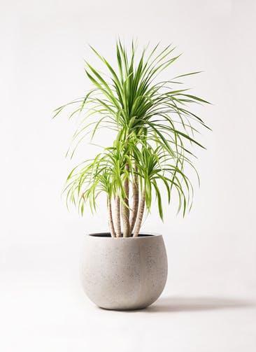 観葉植物 ドラセナ カンボジアーナ 8号 テラニアス ローバルーン アンティークホワイト 付き