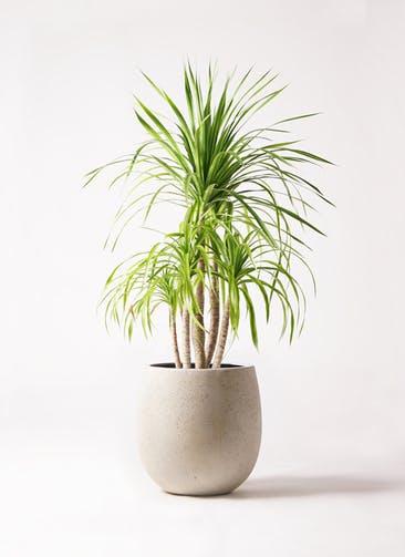 観葉植物 ドラセナ カンボジアーナ 8号 テラニアス バルーン アンティークホワイト 付き