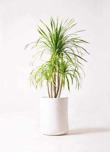 観葉植物 ドラセナ カンボジアーナ 8号 バスク ミドル ホワイト 付き
