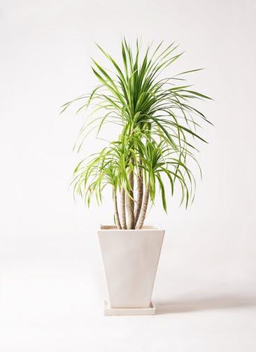観葉植物 ドラセナ カンボジアーナ 8号 スクエアハット 白 付き
