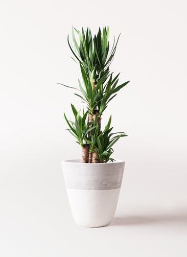 観葉植物 ユッカ 8号 ノーマル ジュピター 白 付き