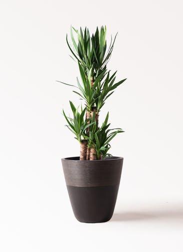 観葉植物 ユッカ 8号 ノーマル ジュピター 黒 付き