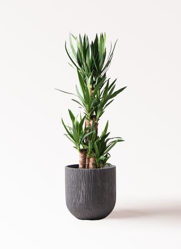 観葉植物 ユッカ 8号 ノーマル カルディナダークグレイ 付き