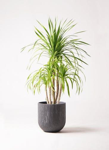 観葉植物 ドラセナ カンボジアーナ 8号 カルディナダークグレイ 付き
