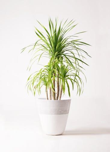 観葉植物 ドラセナ カンボジアーナ 8号 ジュピター 白 付き