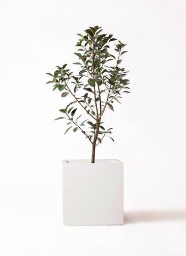 観葉植物 フランスゴムの木 8号 ノーマル バスク キューブ 付き
