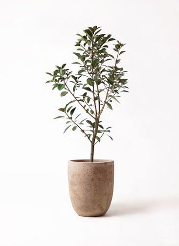 観葉植物 フランスゴムの木 8号 ノーマル ルーガ アンティコ アルトエッグ 付き