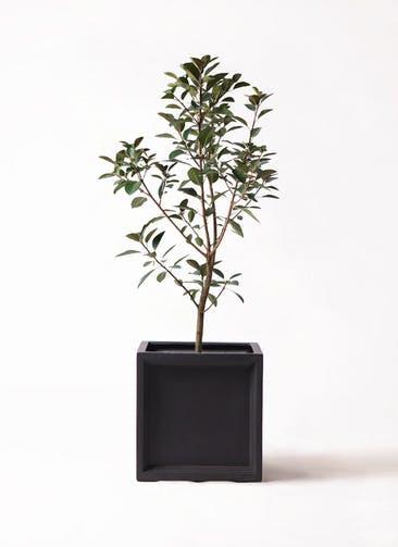 観葉植物 フランスゴムの木 8号 ノーマル ブリティッシュキューブ 付き