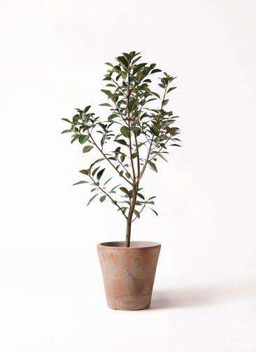 観葉植物 フランスゴムの木 8号 ノーマル ルーガ アンティコ ソリッド 付き