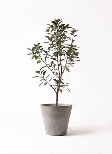 観葉植物 フランスゴムの木 8号 ノーマル アートストーン ラウンド グレー 付き