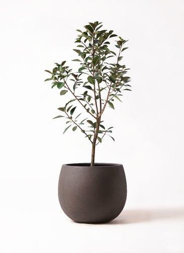 観葉植物 フランスゴムの木 8号 ノーマル テラニアス ローバルーン アンティークブラウン 付き