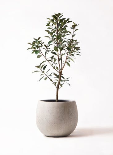 観葉植物 フランスゴムの木 8号 ノーマル テラニアス ローバルーン アンティークホワイト 付き