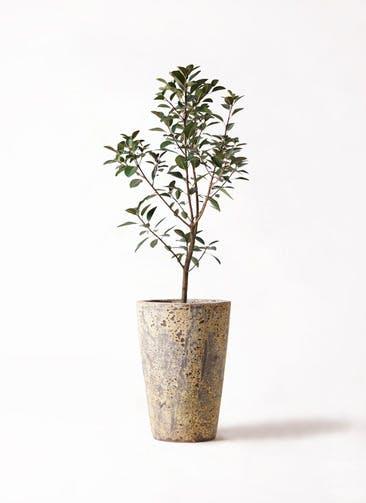 観葉植物 フランスゴムの木 8号 ノーマル アトランティス クルーシブル 付き