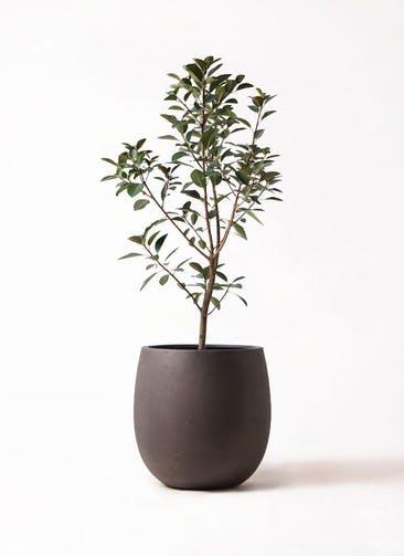 観葉植物 フランスゴムの木 8号 ノーマル テラニアス バルーン アンティークブラウン 付き
