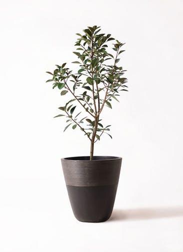 観葉植物 フランスゴムの木 8号 ノーマル ジュピター 黒 付き