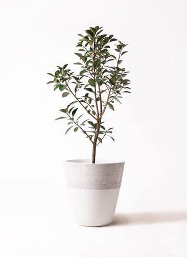 観葉植物 フランスゴムの木 8号 ノーマル ジュピター 白 付き