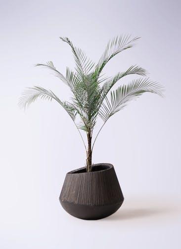 観葉植物 ヒメココス 8号 エディラウンド 黒 付き
