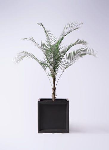 観葉植物 ヒメココス 8号 ブリティッシュキューブ 付き