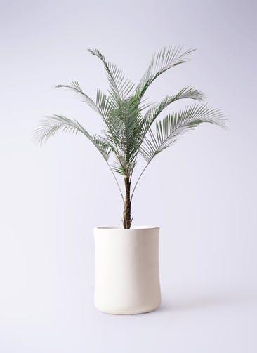 観葉植物 ヒメココス 8号 バスク ミドル ホワイト 付き