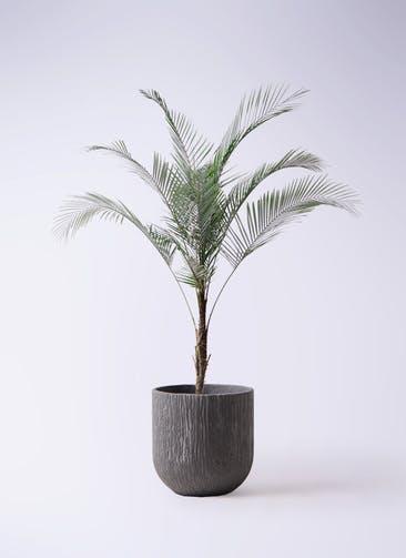 観葉植物 ヒメココス 8号 カルディナダークグレイ 付き