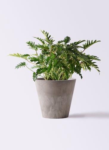 観葉植物 クッカバラ 7号 アートストーン ラウンド グレー 付き